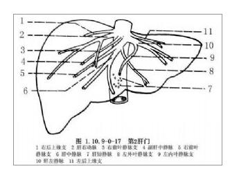 肝脏相关解剖相关知识 肝门的结构